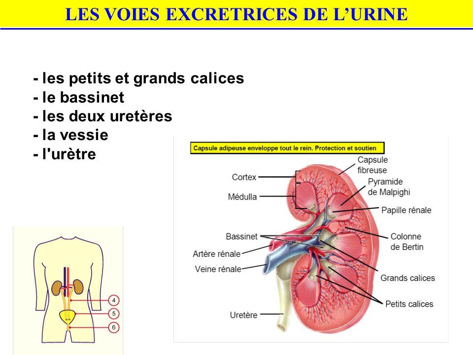 LES VOIES EXCRETRICES DE L'URINE - les petits et grands calices - le bassinet - les deux uretères - la vessie - l'urètre