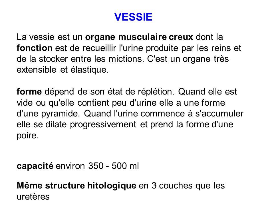 La vessie est un organe musculaire creux dont la fonction est de recueillir l'urine produite par les reins et de la stocker entre les mictions. C'est