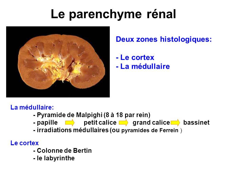 Le parenchyme rénal Deux zones histologiques: - Le cortex - La médullaire Le cortex - Colonne de Bertin - le labyrinthe La médullaire: - Pyramide de M