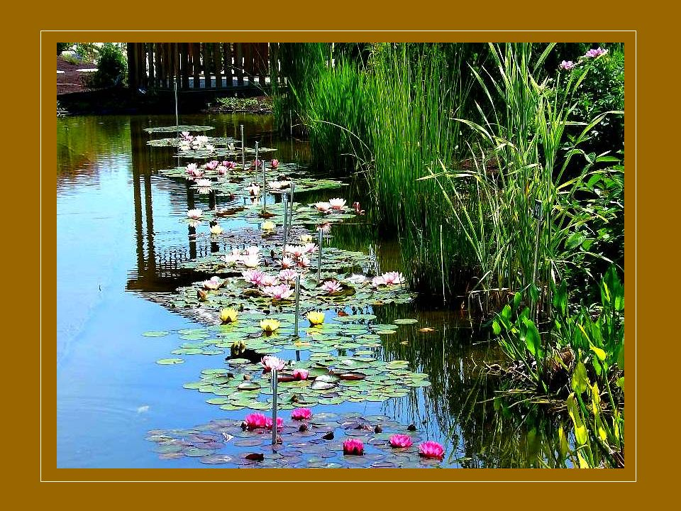 Sur des photos de jardins aquatiques que mon correspondant Henri Pellequer m'a aimablement offertes pour vous, je voudrais essayer de reprendre à votre intention les explications données par notre curé concernant la parabole du roi « qui partit en voyage ».