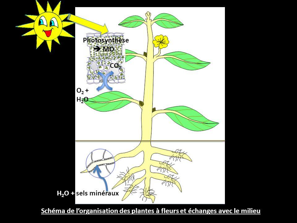 Schéma de l'organisation des plantes à fleurs et échanges avec le milieu CO 2 O 2 + H 2 O Photosynthèse  MO H 2 O + sels minéraux