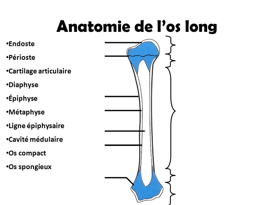 Anatomie de l'os long Diaphyse Épiphyse Métaphyse Épiphyse Métaphyse Endoste Cartilage articulaire (Protection) Ligne épiphysaire Périoste  Foramens