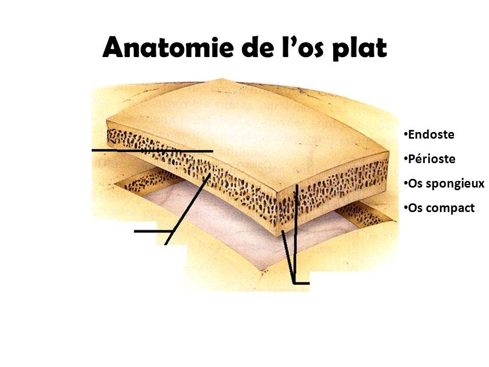 Anatomie de l'os plat Os spongieux Os compact Périoste Endoste Périoste Os spongieux Os compact