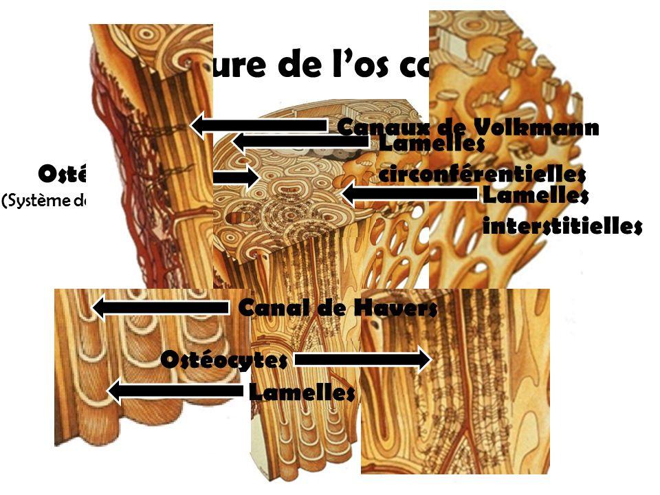 Ostéon (Système de Havers) Structure de l'os compact Ostéocytes Canaux de Volkmann Canal de Havers Lamelles circonférentielles Lamelles Lamelles inter