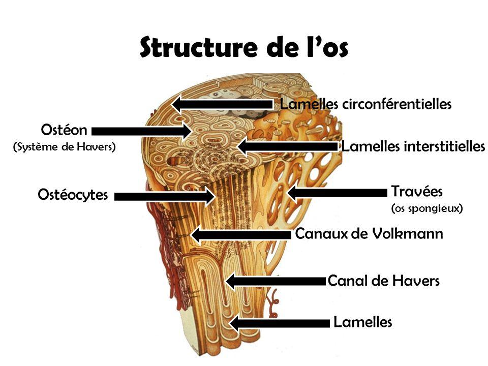Ostéon (Système de Havers) Structure de l'os Ostéocytes Canaux de Volkmann Canal de Havers Lamelles circonférentielles Lamelles Lamelles interstitiell