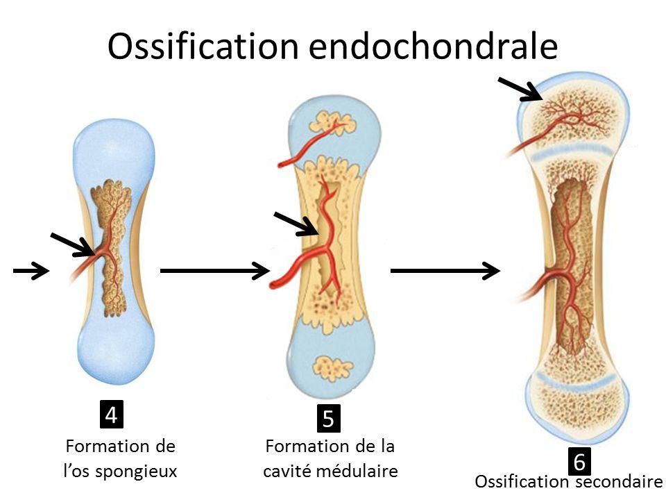 Ossification endochondrale Formation de l'os spongieux Formation de la cavité médulaire Ossification secondaire 4 5 6