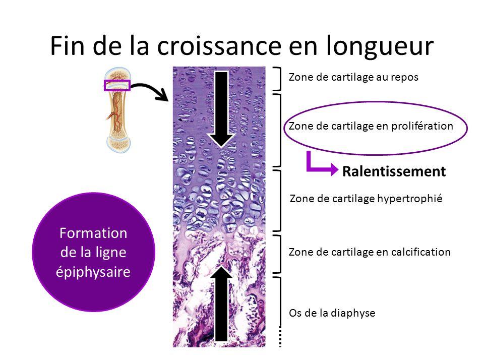 Fin de la croissance en longueur Zone de cartilage au repos Zone de cartilage en prolifération Zone de cartilage hypertrophié Zone de cartilage en cal