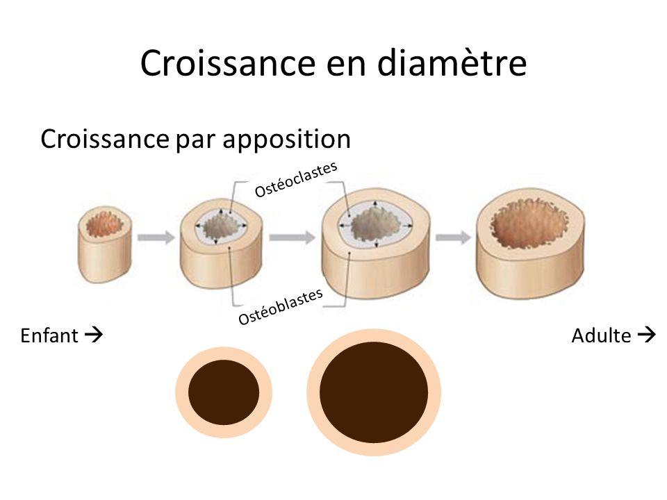 Croissance en diamètre Croissance par apposition Enfant  Adulte  Ostéoclastes Ostéoblastes