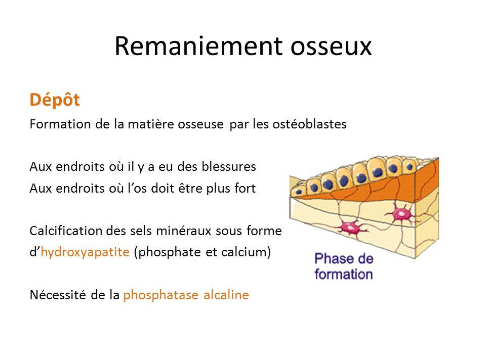 Remaniement osseux Dépôt Formation de la matière osseuse par les ostéoblastes Aux endroits où il y a eu des blessures Aux endroits où l'os doit être p