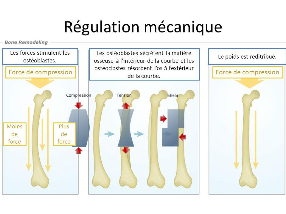 Régulation mécanique Plus de force Moins de force Force de compression Les forces stimulent les ostéoblastes. Les ostéoblastes sécrètent la matière os
