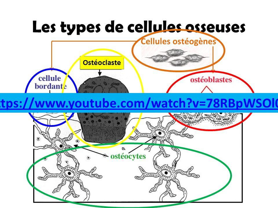 Les types de cellules osseuses Cellules ostéogènes Ostéoclaste https://www.youtube.com/watch?v=78RBpWSOl08
