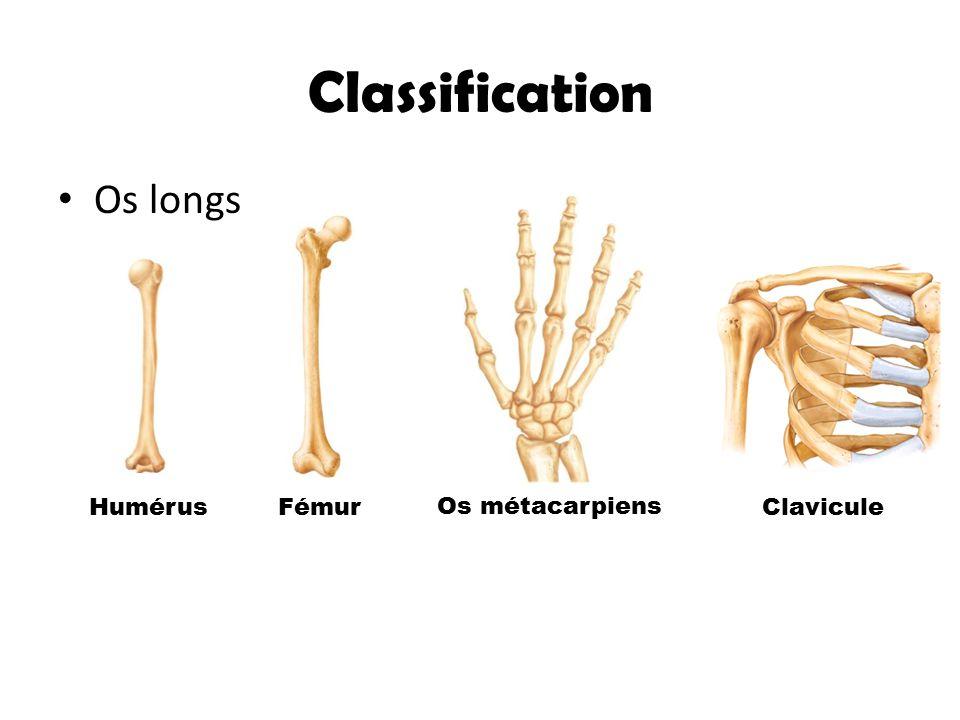 Classification Os longs HumérusFémur Os métacarpiens Clavicule