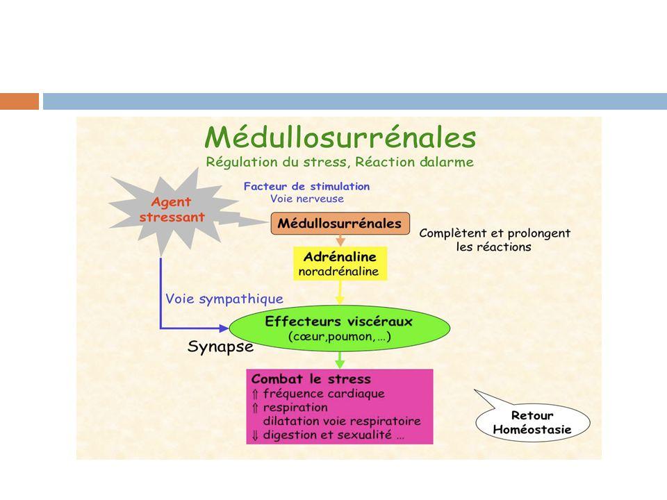 Les parathyroïdes:  Elles sont 4  Sont situées à chaque pôle de la thyroïde (derrière les lobes thyroïdiens)  Régulent le taux de calcium, de magnésium et de phosphore  La parathormone intervient sur les cellules:  Osseuse,  Rénale,  digestive