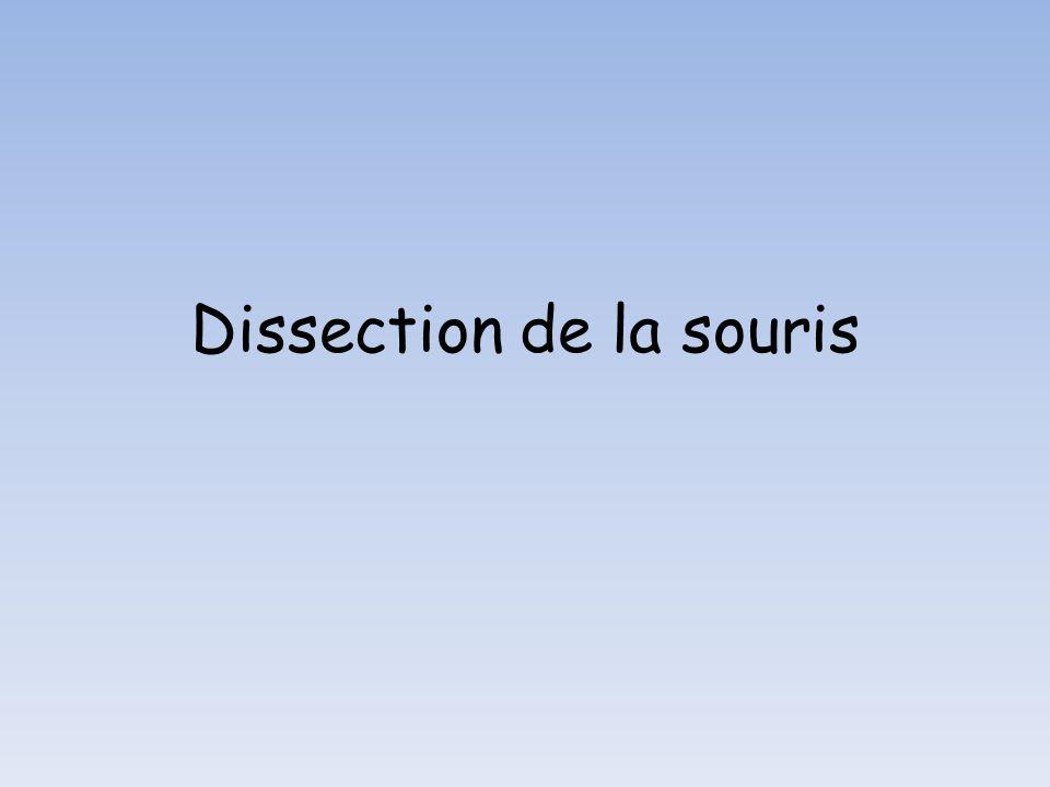 Dissection de la souris
