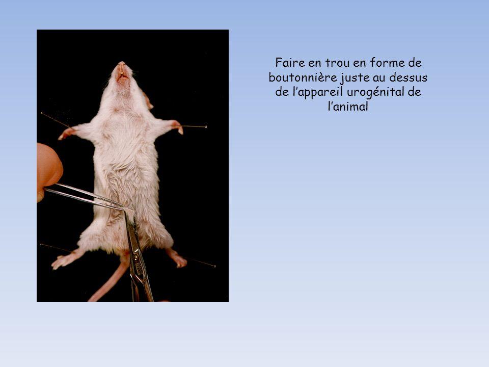 Faire en trou en forme de boutonnière juste au dessus de l'appareil urogénital de l'animal