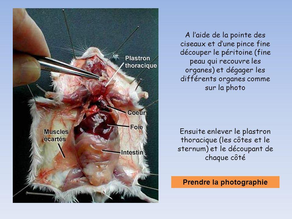A l'aide de la pointe des ciseaux et d'une pince fine découper le péritoine (fine peau qui recouvre les organes) et dégager les différents organes com