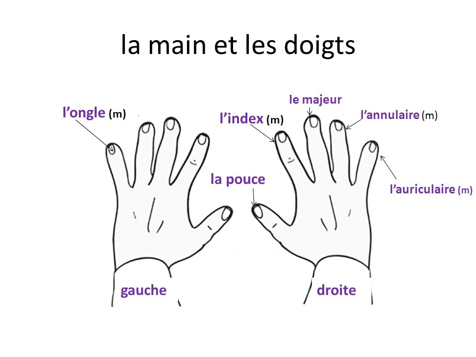 la main et les doigts gauchedroite la pouce l'index (m) le majeur l'annulaire (m) l'auriculaire (m) l'ongle (m)