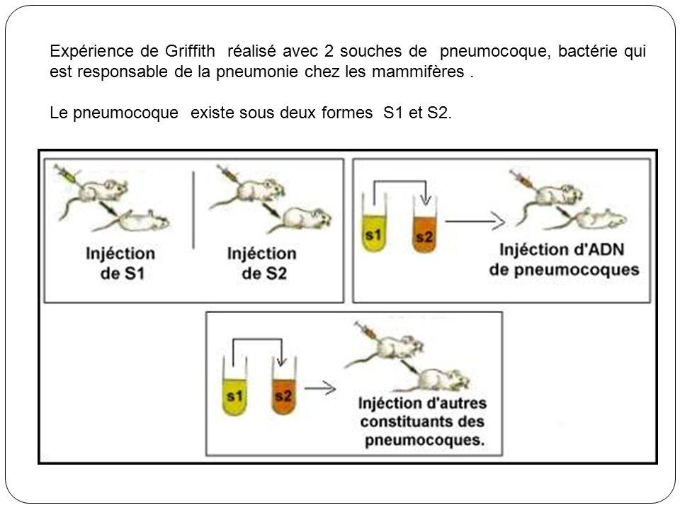 Expérience de Griffith réalisé avec 2 souches de pneumocoque, bactérie qui est responsable de la pneumonie chez les mammifères.