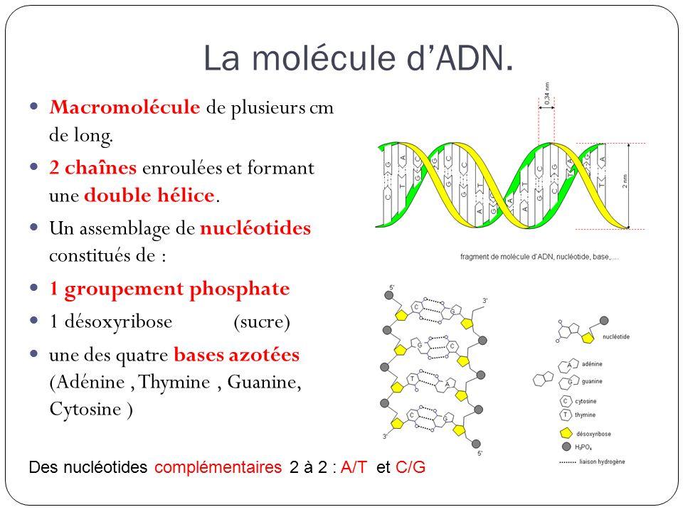La molécule d'ADN.Macromolécule de plusieurs cm de long.