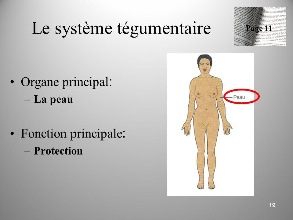 Le système tégumentaire Organe principal : –La peau Fonction principale : –Protection 19 Page 11