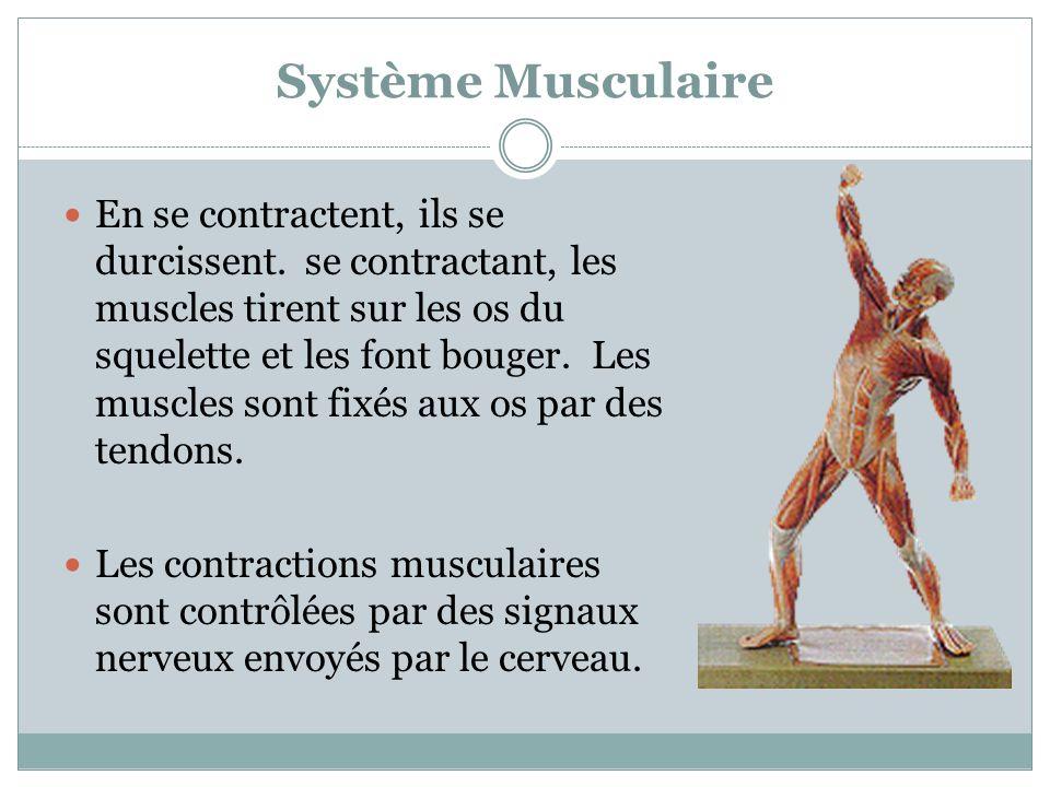 Système Musculaire En se contractent, ils se durcissent. se contractant, les muscles tirent sur les os du squelette et les font bouger. Les muscles so