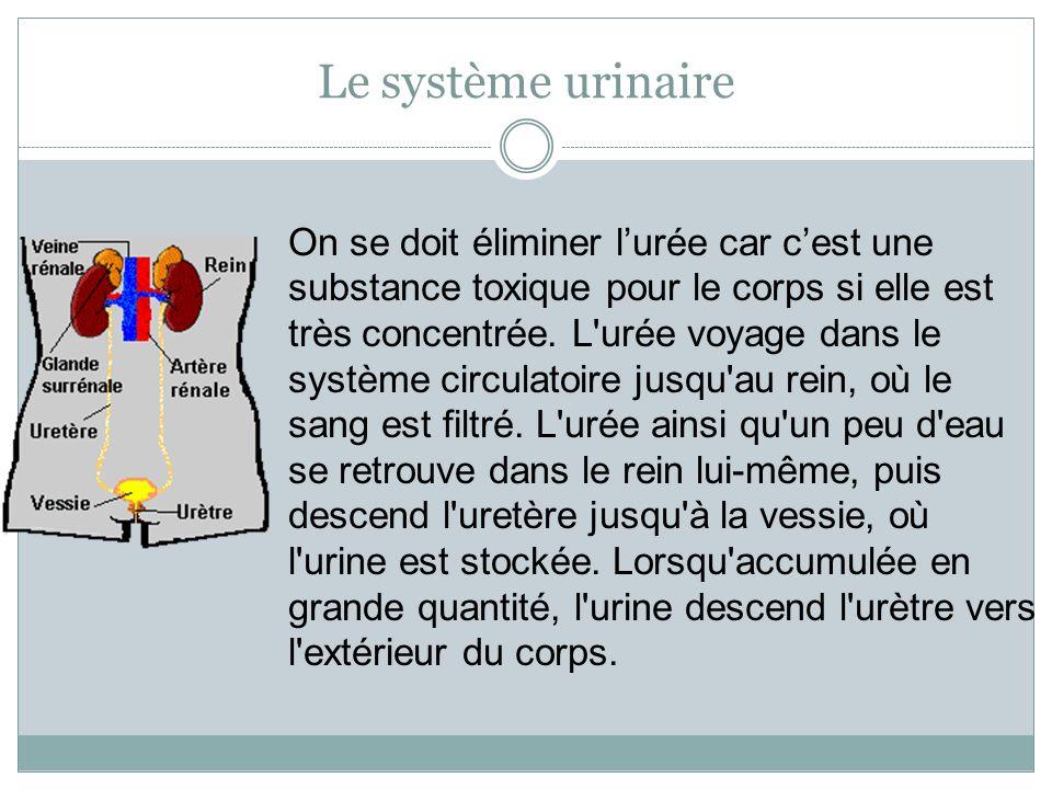 Le système urinaire On se doit éliminer l'urée car c'est une substance toxique pour le corps si elle est très concentrée. L'urée voyage dans le systèm
