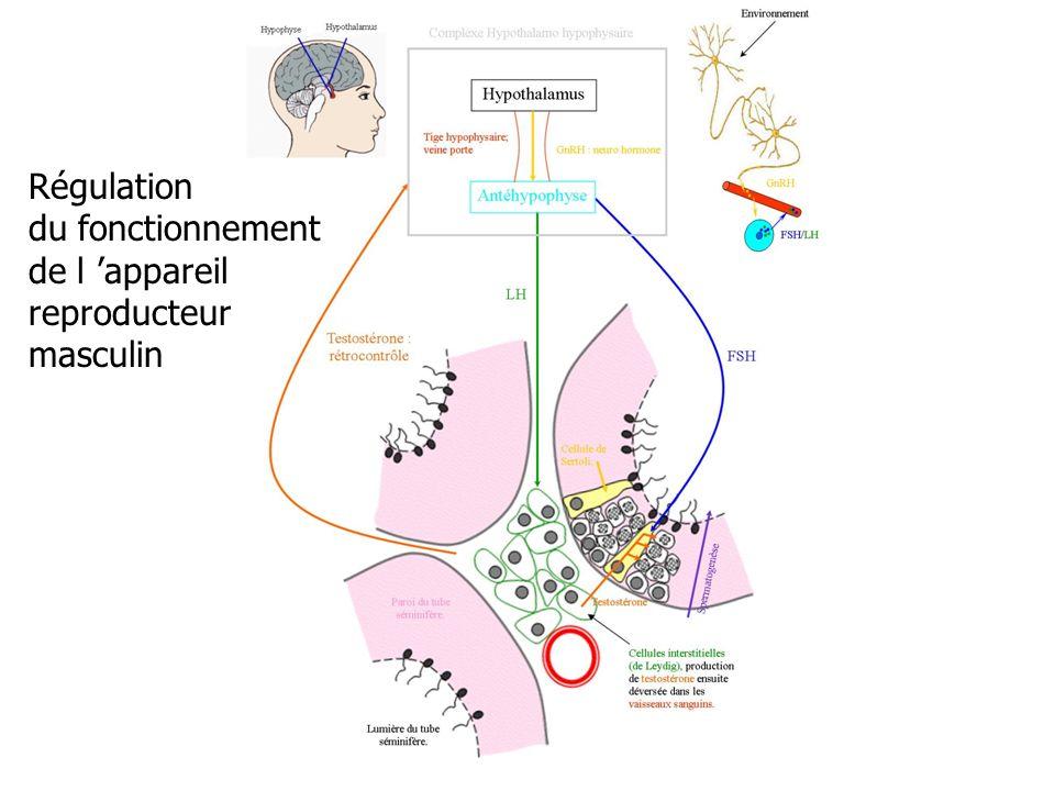 Régulation du fonctionnement de l 'appareil reproducteur masculin