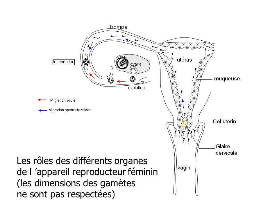 Les rôles des différents organes de l 'appareil reproducteur féminin (les dimensions des gamètes ne sont pas respectées)