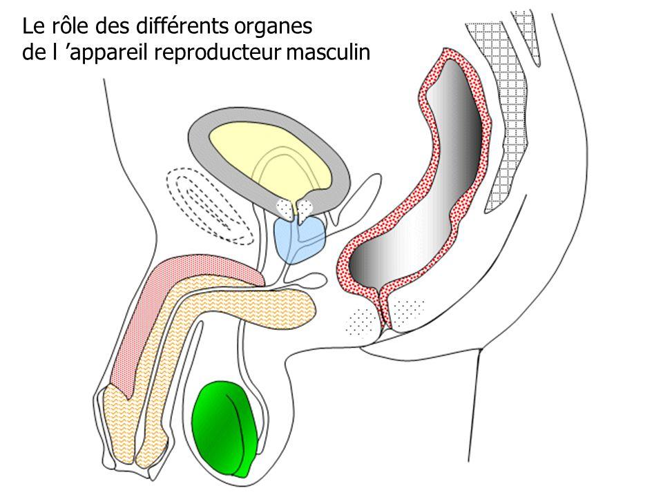Le rôle des différents organes de l 'appareil reproducteur masculin