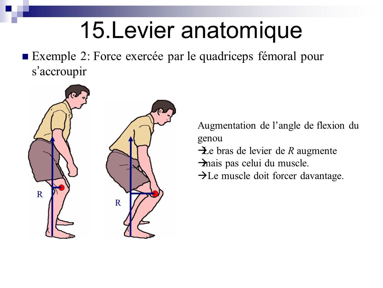 Bras de levier anatomie