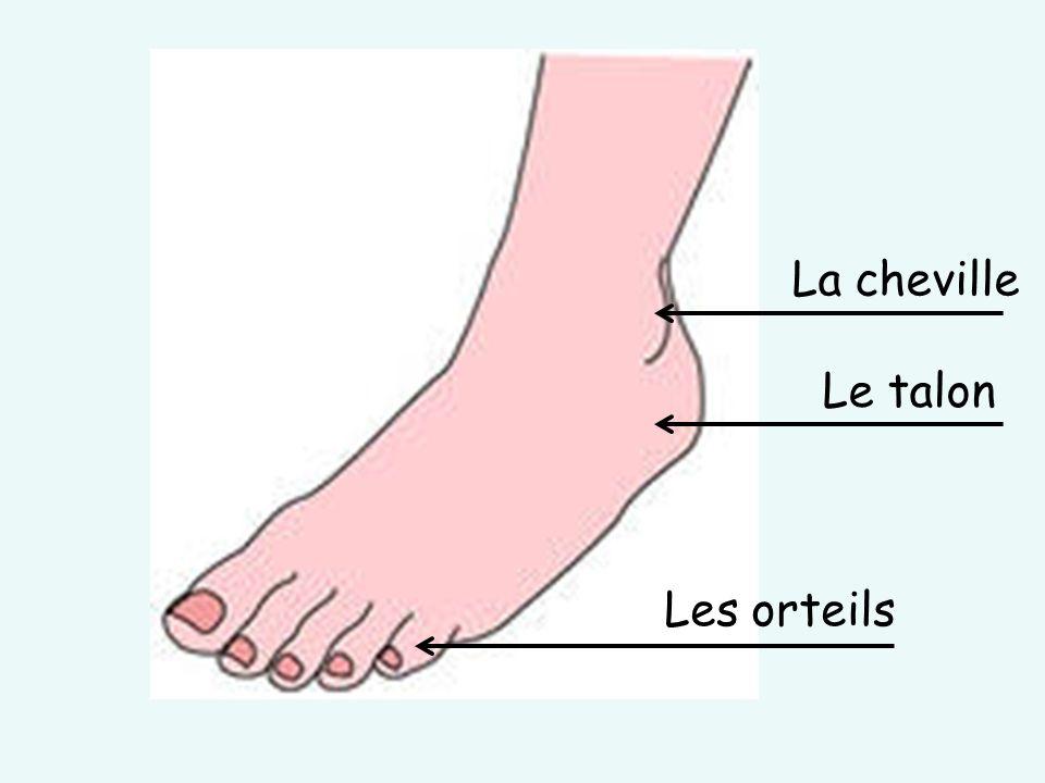 Les orteils La cheville Le talon