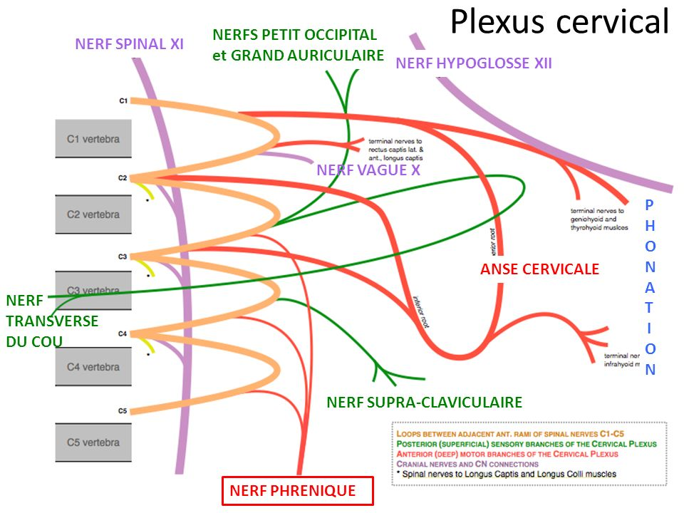 NERF PHRENIQUE NERF SPINAL XI ANSE CERVICALE Plexus cervical NERFS PETIT OCCIPITAL et GRAND AURICULAIRE NERF HYPOGLOSSE XII NERF SUPRA-CLAVICULAIRE NERF TRANSVERSE DU COU NERF VAGUE X PHONATIONPHONATION