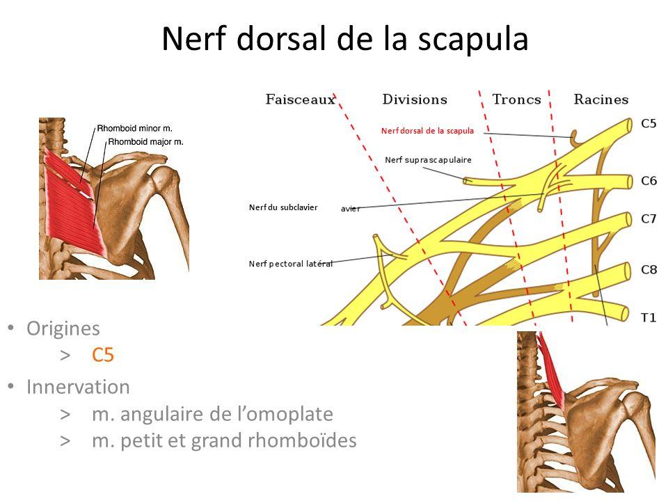 Nerf dorsal de la scapula Nerf du subclavier Nerf thoracique long Origines > C5 Innervation >m.