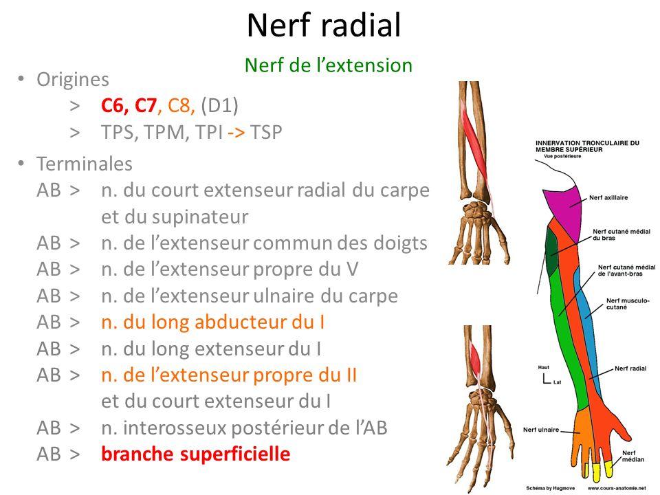 Nerf radial Origines > C6, C7, C8, (D1) >TPS, TPM, TPI -> TSP Terminales AB>n.