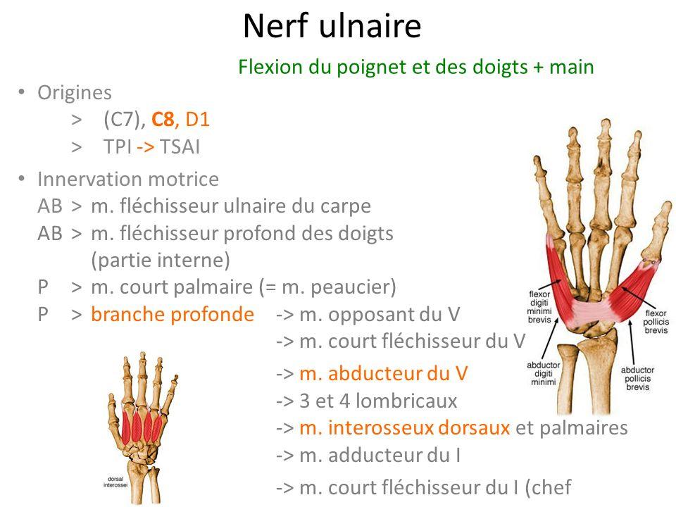 Nerf ulnaire Origines > (C7), C8, D1 >TPI -> TSAI Innervation motrice AB> m.
