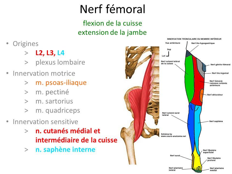 Nerf fémoral Origines > L2, L3, L4 >plexus lombaire Innervation motrice >m.