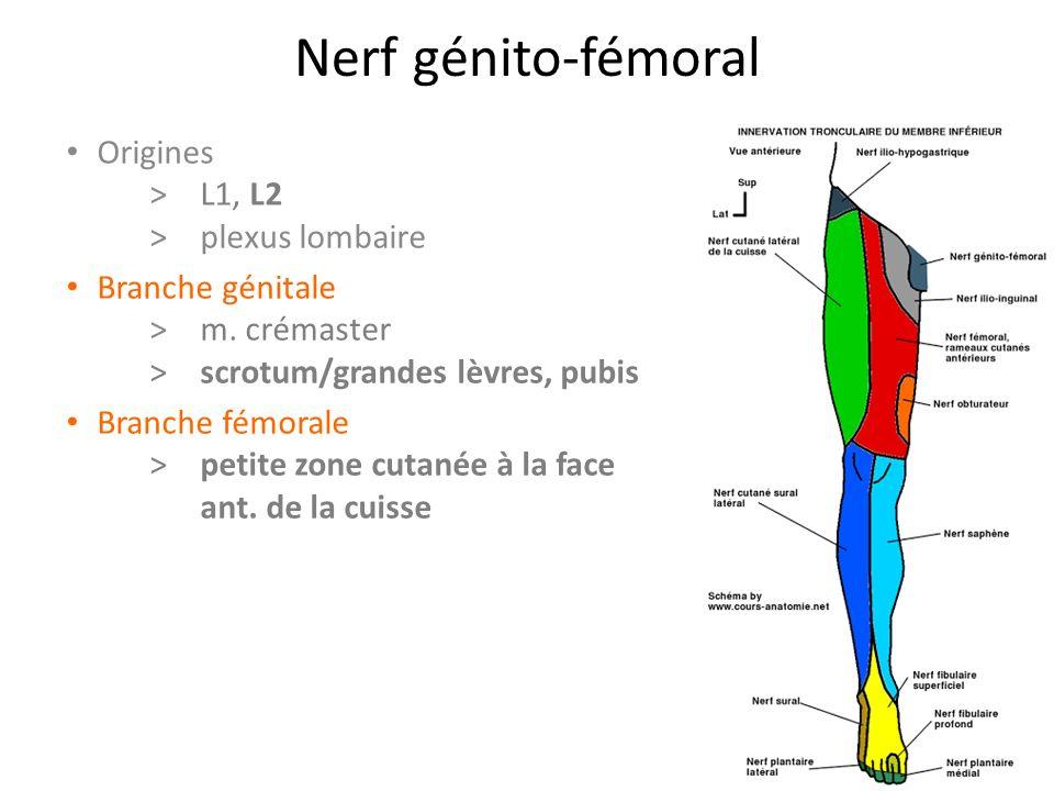 Nerf génito-fémoral Origines > L1, L2 >plexus lombaire Branche génitale >m.