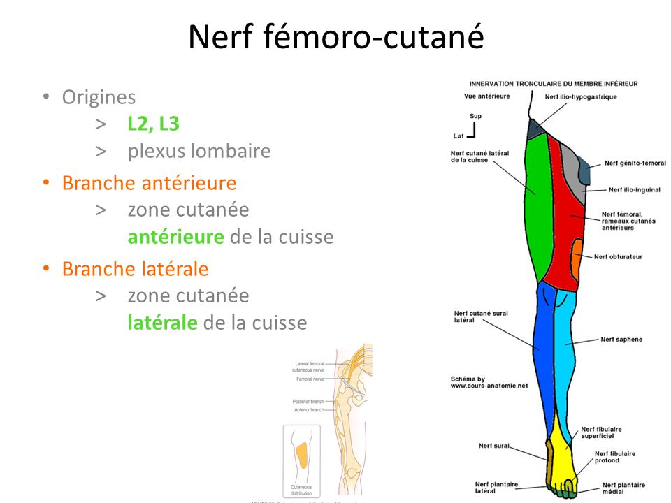 Nerf fémoro-cutané Origines > L2, L3 >plexus lombaire Branche antérieure >zone cutanée antérieure de la cuisse Branche latérale >zone cutanée latérale de la cuisse