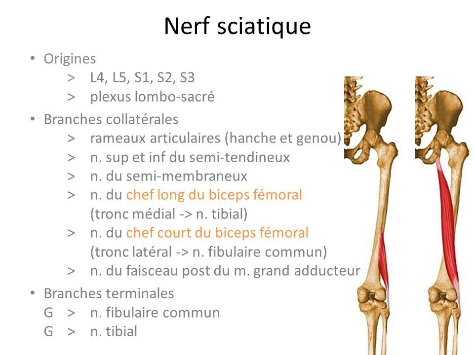 Nerf sciatique Origines > L4, L5, S1, S2, S3 >plexus lombo-sacré Branches collatérales >rameaux articulaires (hanche et genou) >n.