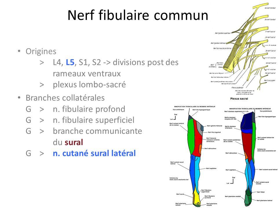 Nerf fibulaire commun Origines > L4, L5, S1, S2 -> divisions post des rameaux ventraux >plexus lombo-sacré Branches collatérales G>n.