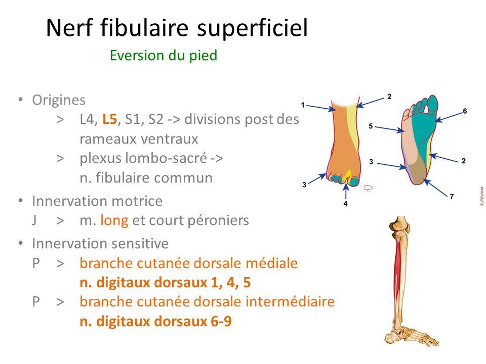 Nerf fibulaire superficiel Eversion du pied Origines > L4, L5, S1, S2 -> divisions post des rameaux ventraux >plexus lombo-sacré -> n.