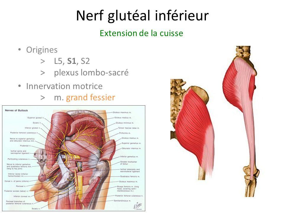Nerf glutéal inférieur Origines > L5, S1, S2 >plexus lombo-sacré Innervation motrice >m.