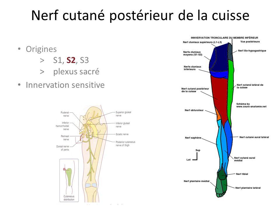 Nerf cutané postérieur de la cuisse Origines > S1, S2, S3 >plexus sacré Innervation sensitive