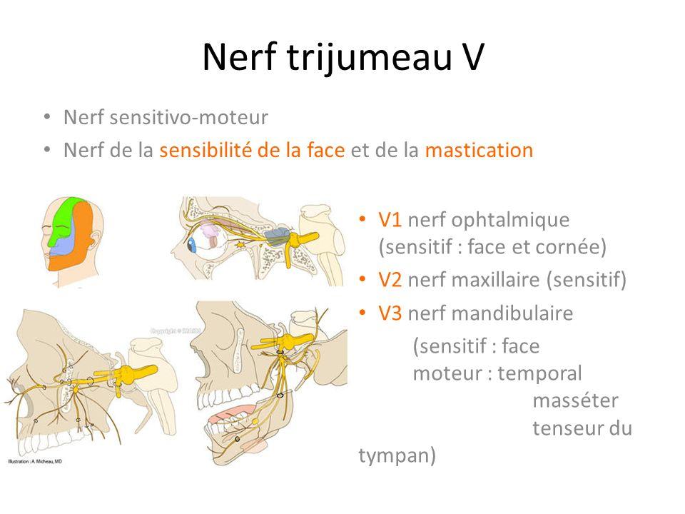 Nerf trijumeau V Nerf sensitivo-moteur Nerf de la sensibilité de la face et de la mastication V1 nerf ophtalmique (sensitif : face et cornée) V2 nerf maxillaire (sensitif) V3 nerf mandibulaire (sensitif : face moteur : temporal masséter tenseur du tympan)