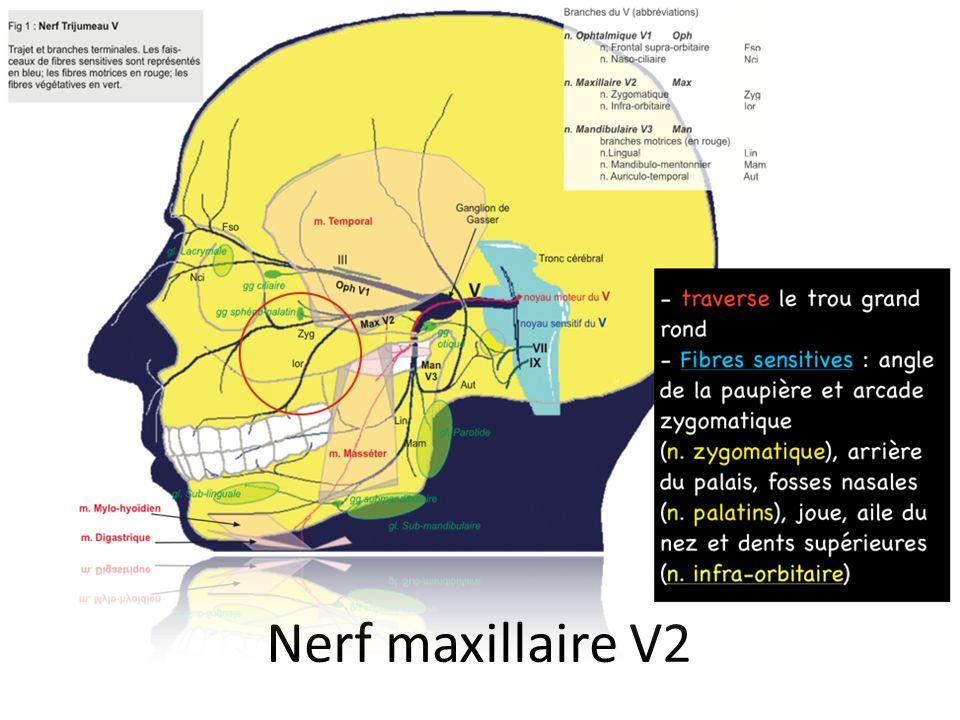 Nerf maxillaire V2