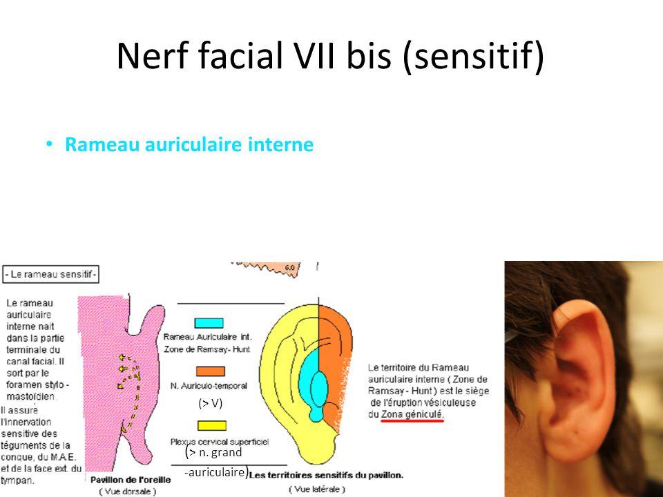 Nerf facial VII bis (sensitif) Rameau auriculaire interne (> V) ( > n. grand -auriculaire )