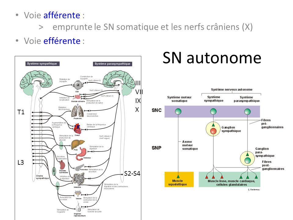 SN autonome Voie afférente : >emprunte le SN somatique et les nerfs crâniens (X) Voie efférente : T1 L3 S2-S4 III VII IX X
