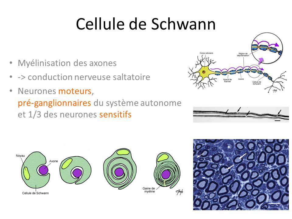 Cellule de Schwann Myélinisation des axones -> conduction nerveuse saltatoire Neurones moteurs, pré-ganglionnaires du système autonome et 1/3 des neurones sensitifs