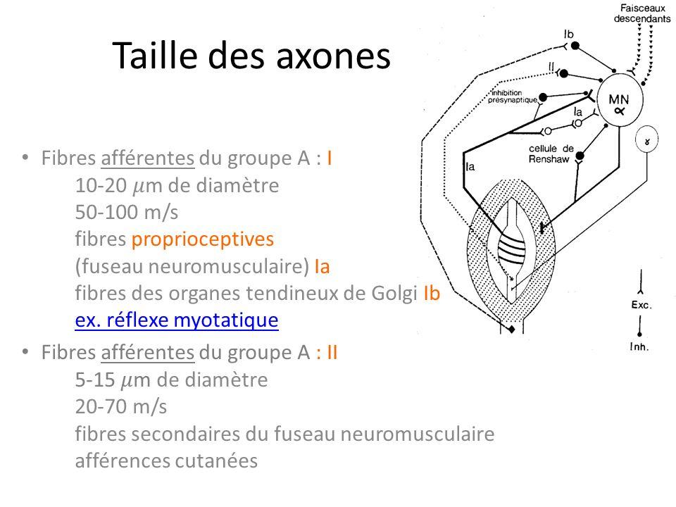 Taille des axones Fibres afférentes du groupe A : I 10-20 m de diamètre 50-100 m/s fibres proprioceptives (fuseau neuromusculaire) Ia fibres des organes tendineux de Golgi Ib ex.