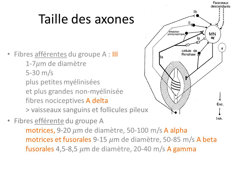 Taille des axones Fibres afférentes du groupe A : III 1-7m de diamètre 5-30 m/s plus petites myélinisées et plus grandes non-myélinisée fibres nociceptives A delta > vaisseaux sanguins et follicules pileux Fibres efférente du groupe A motrices, 9-20 m de diamètre, 50-100 m/s A alpha motrices et fusorales 9-15 m de diamètre, 50-85 m/s A beta fusorales 4,5-8,5 m de diamètre, 20-40 m/s A gamma